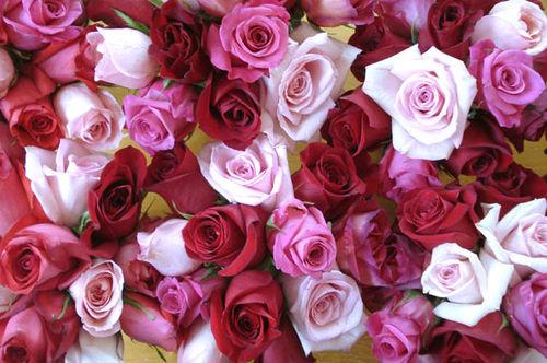 Rachel roses_7