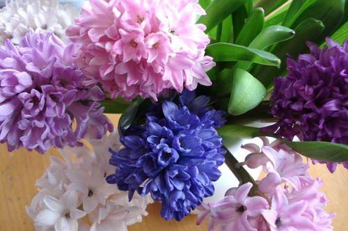 Hyacinth_blog_4