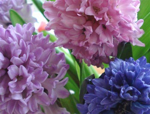 Hyacinth_blog_5