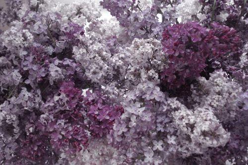 Lilacs_blog_1