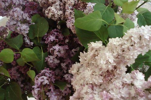 Lilacs_blog_14