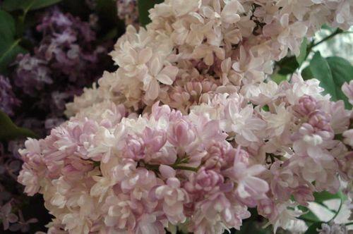 Lilacs_blog_12