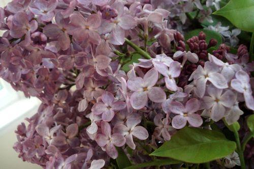 Lilacs_blog_15