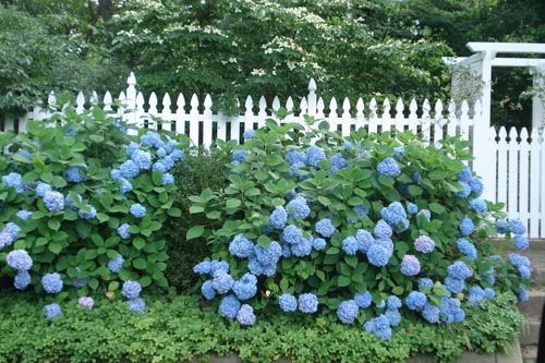 Hamptons_2009_hydrangeas_blog_17