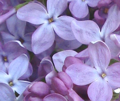 Lilacs_15