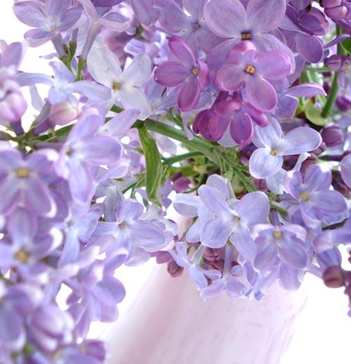 Lilacs_17