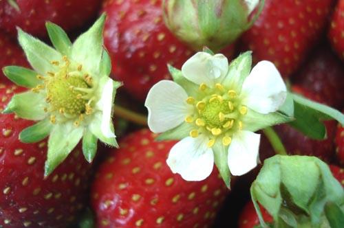 Strawberry shortcake_2