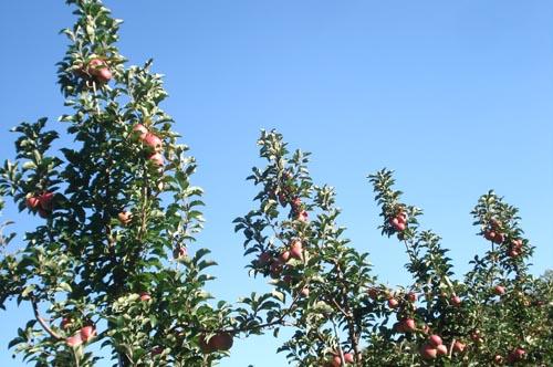 Apple picking_4