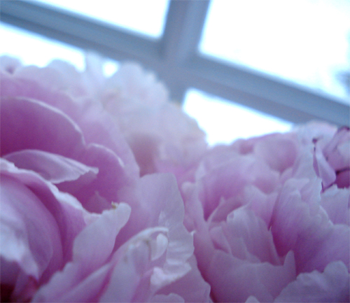 Winter peonies_8404_6