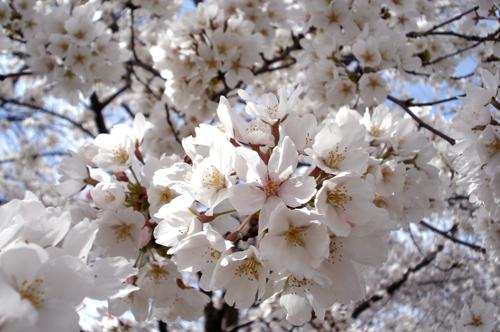 Cherry_766_10