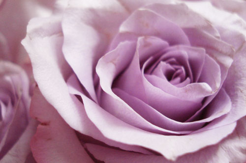 Lavender roses_1