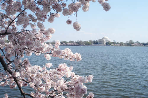 Cherry blossoms_5