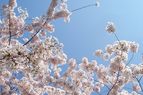 Cherry blossoms_9