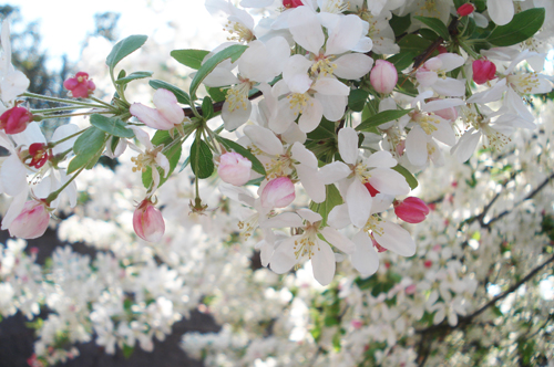 Cherry blossoms_8