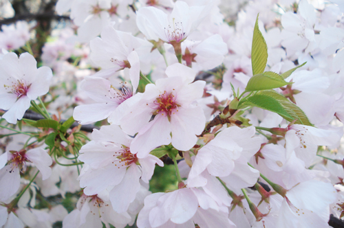 Cherry blossoms_10
