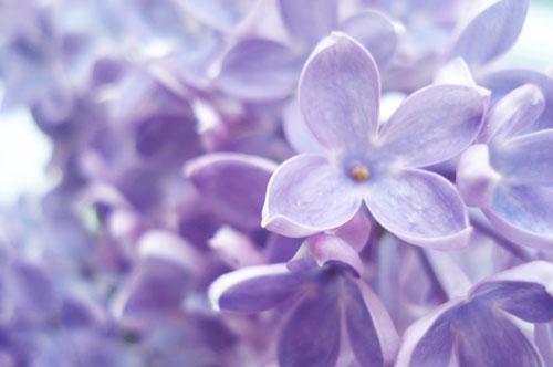 Lilacs_6