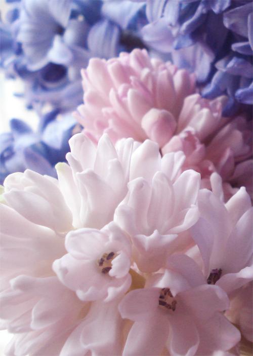 Hyacinth_8
