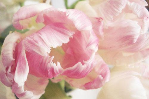 Parrot tulips_5