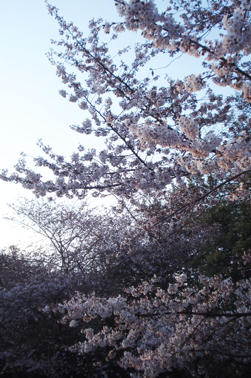 Cherry blossoms_2013_5