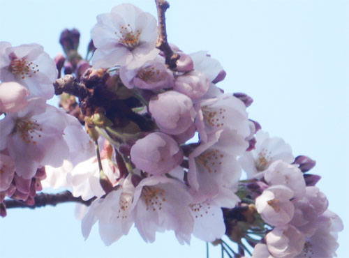 Cherry blossoms_2013_26