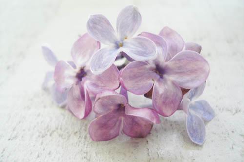 Lilacs_4